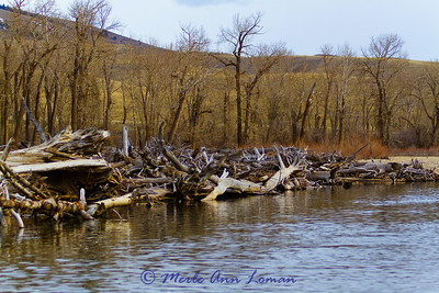 impressive collection of dead cottonwoods gathered along the bank