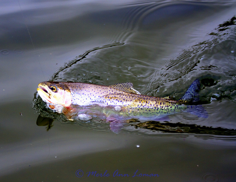 Cutthroat trout on the line