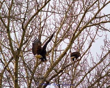 A pair of bald eagles followed us for a bit down the river