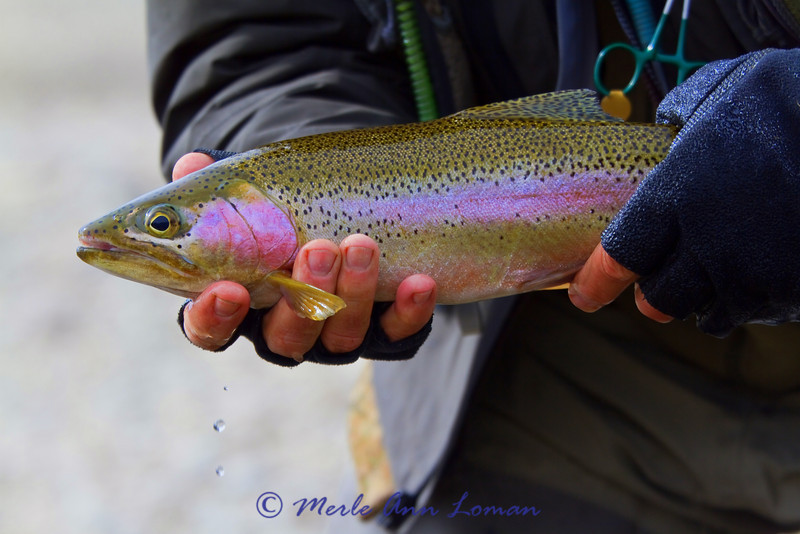 Another gorgeous trout
