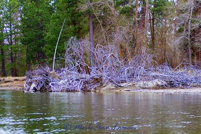 more woody debris along the bank