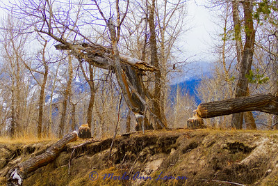 More beaver work along the bank. Snow on the Bitterroot Mountains in the background.