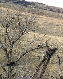 Bald Eagles getting the nest ready