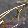 This photo was actually taken March 28 just north of Stevensville FAS. March Brown Mayfly.