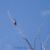 "Lewis's Woodpecker - Melanerpes lewis, Species of Concern, <a href=""http://fieldguide.mt.gov/detail_ABNYF04010.aspx"">http://fieldguide.mt.gov/detail_ABNYF04010.aspx</a>"