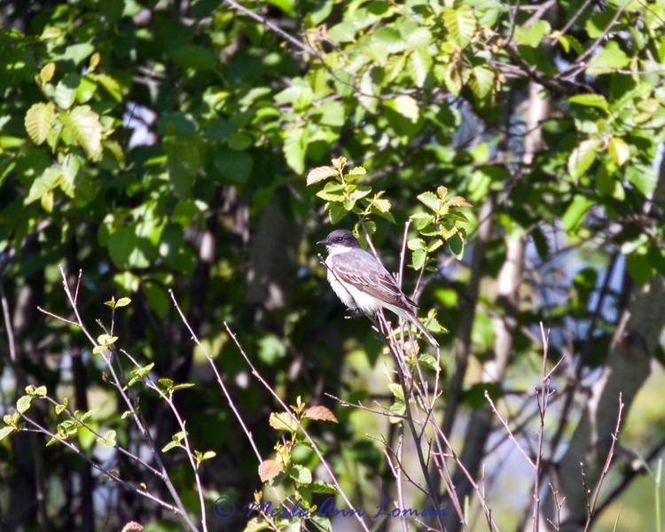 "Eastern Kingbird - Tyrannus tyrannus, <a href=""http://fieldguide.mt.gov/detail_ABPAE52060.aspx"">http://fieldguide.mt.gov/detail_ABPAE52060.aspx</a>"