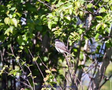 Eastern Kingbird - Tyrannus tyrannus, http://fieldguide.mt.gov/detail_ABPAE52060.aspx
