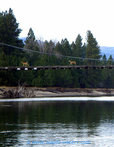 Deer need to cross the river, too.