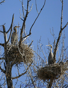 Herons in a rookery