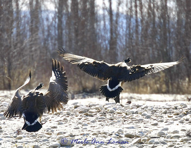 Geese are beginning to nest