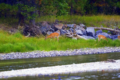 White-tailed doe and two fawns on the river bank.