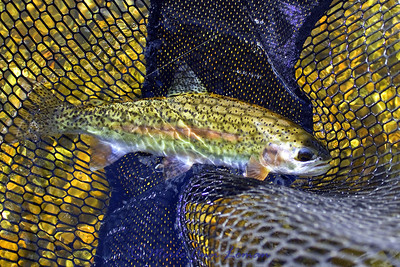 Another rainbow trout.