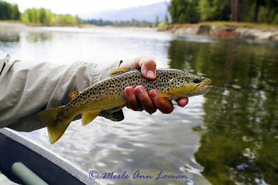 Same brown trout.