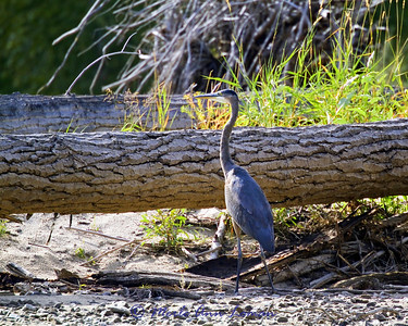 Young Great Blue Heron.
