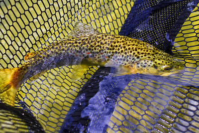 Small brown trout, a beauty, also caught on a hopper.