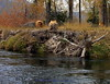 The work of beaver