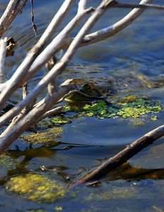 Look  closely above the green. A frog is peeking out of the water. There is a spider on the wood and the frog wants lunch.