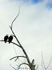 pair of eagles