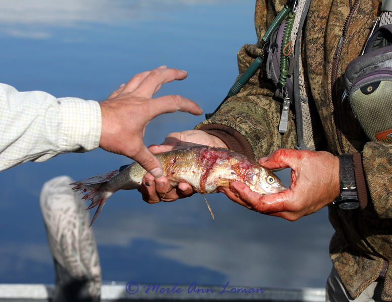 The white fish that the pike had in its stomach