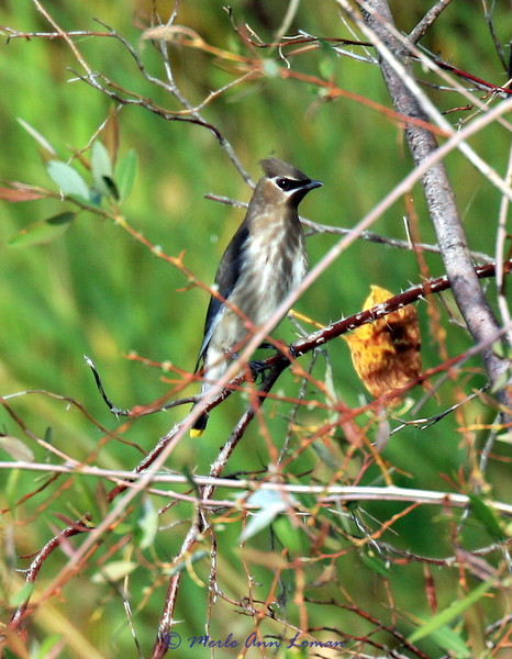 Cedar Waxwing - see the yellow tip on the tail