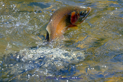 Cutthroat on a fly line in April on the West Fork of the Bitterroot River - IMG_8291
