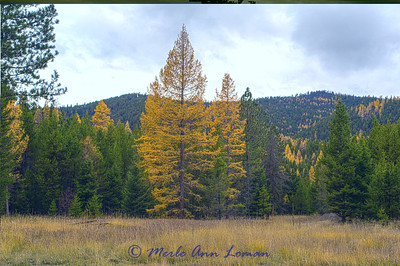 20141029-3R9B1448-H-Blackfoot_larch