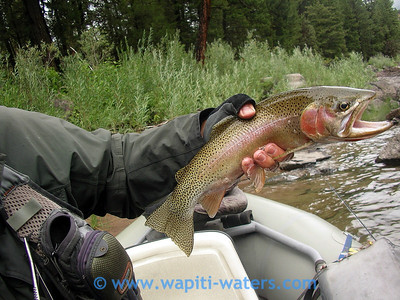 Cuttbow caught by Mike Connell on the Blackfoot river