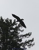 Immature eagle flying off