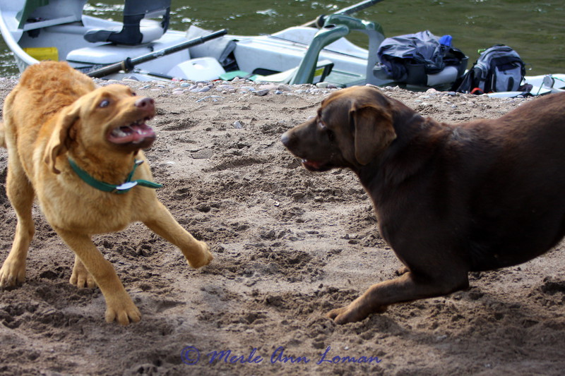 Finally they can play at the take-out - they were in the boat most of the day. Blackfoot River, Montana