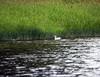 A lost domestic duck, nice habitat!