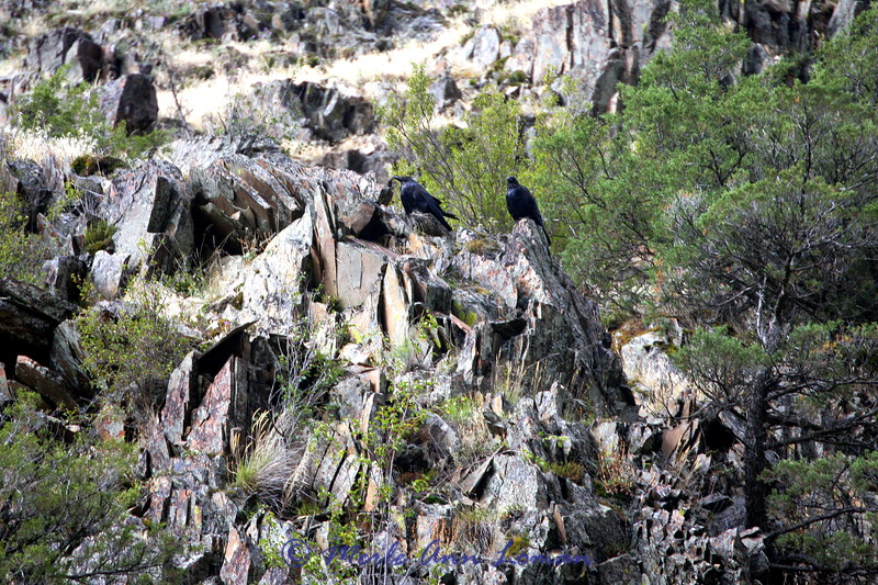 Ravens on the rocks above the river