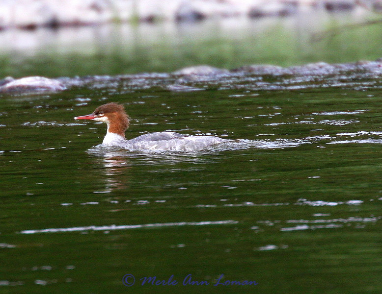 Merganser - a sign of a healthy fishery!