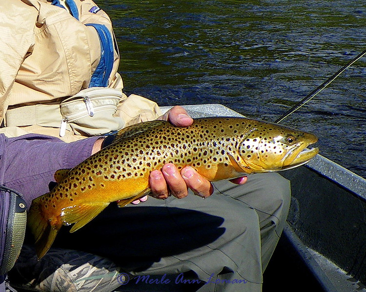 Brown trout on the Big Hole River