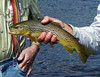 A closer view of the brown trout