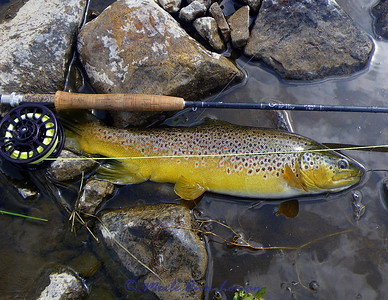 Big Hole River brown trout caught by Jack