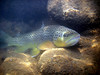 Photo by Billy Burk - Brown trout in the Arkansas River in Colorado