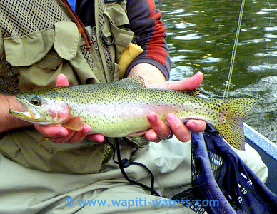 might be a hybrid of cutthroat and rainbow - Bitterroot River