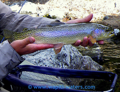 Nick's trout