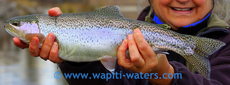 Iridescent silver rainbow trout from the lower Bitterroot River