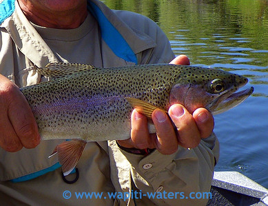 A very close view of Joe's rainbow trout