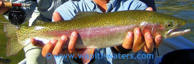 Rainbow trout caught on the Clark Fork River in late August