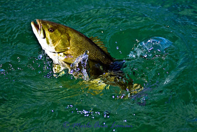 Nice bass in the clear Flathead River