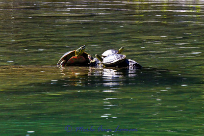 Where there are turtles, there is likely to be bass