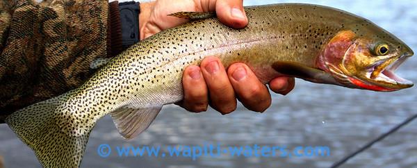 Jack's cutthroat trout
