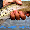Jack's cutthroat trout