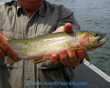 A closer view of the cutthroat on the Blackfoot River