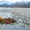 Jack Mauer's trout
