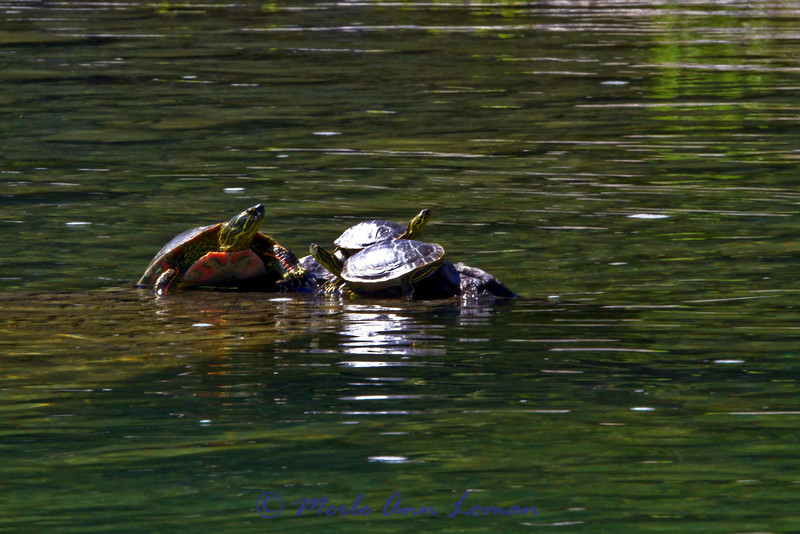 Turtles again.