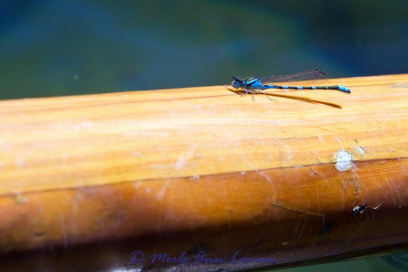 Dragonfly on the oar.