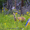 Mule deer doe in camp